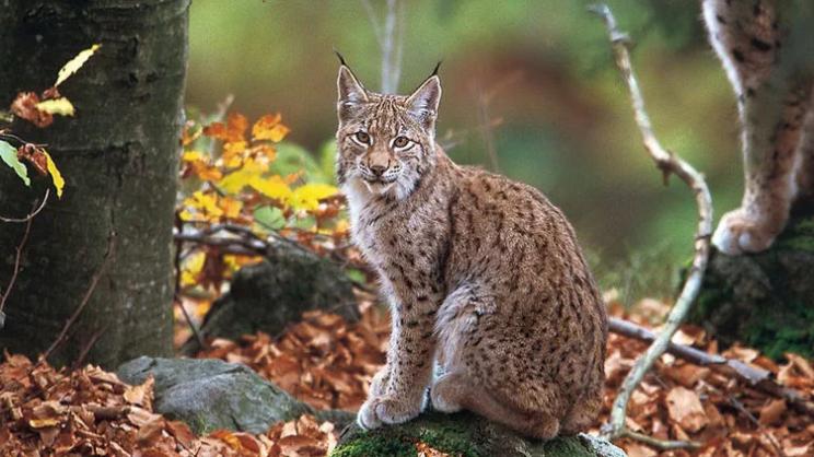 Macedonia's Emblematic Wildcat