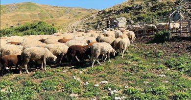 sheep galichnik